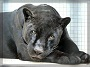 Avatar Grauer HB Panther