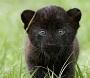 Avatar Junior HB Panther